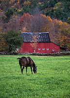 Horse grazing in field with red barn, Vermont, USA