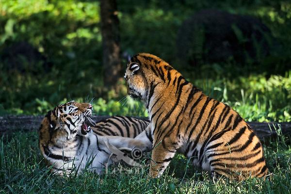 Siberian Tigers (Panthera tigris altaica) play fighting.