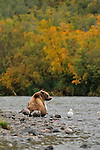 A grizzly bear, Ursus arctos horribilis, sits at the edge of the river in Alaska, looking for his next meal of salmon.