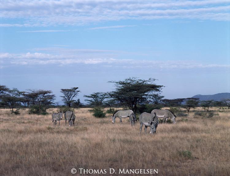 A group of Grevy's zebras graze near Buffalo Springs, Kenya.