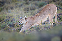 """Like a (Big) House Cat"" - Wild female Puma (Puma concolor) rises to take a stretch. She was interested in a herd of Guanaco. They could see her but she just followed them. Apparently she would wait until dark when her odds were better."