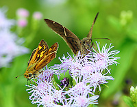 A southern broken-dash skipper and a teleus longtail dining together