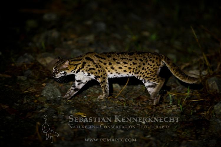 Sunda Leopard Cat (Prionailurus javanensis) male at night, Deramakot Forest Reserve, Sabah, Borneo, Malaysia