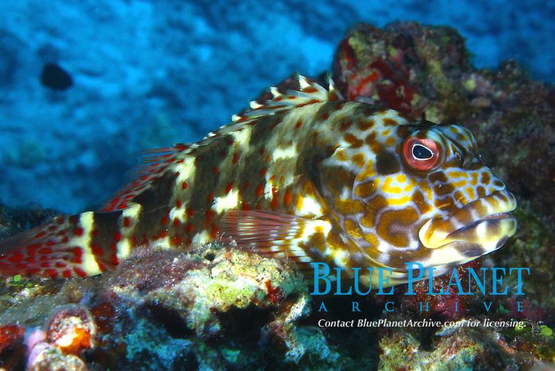 stocky hawkfish, Cirrhitus pinnulatus, in coral, po'o-pa'a, Midway Atoll, Papahanaumokuakea Marine National Monument, Northwestern Hawaiian Islands, Hawaii, USA, Pacific Ocean