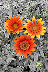 'TALENT RED SHADES' GAZANIA HYBRIDS