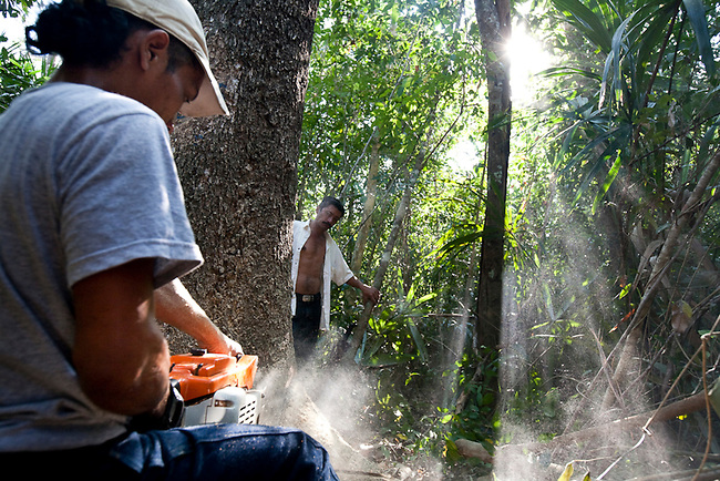 A resident from Carmalita legally harvests a mahagony tree inside the Mayan Biosphere. Carmalita is a legal town inside the reserve that is allowed to log and extract products from the forest in exchange for protecting the forest from invaders.