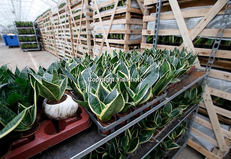 Foto: VidiPhoto<br /> <br /> BEMMEL – Werkzaamheden bij GroWplant op het agrarisch industrieterrein NextGarden (voorheen Bergerden) in Bemmel. GroWplant is een kwekerij van tropische planten uit diverse landen zoals, Costa Rica, Guatemala en Honduras. De planten zijn bestemd voor retail, bouwmarkten, grootwinkelbedrijven en discounters. Bijna 90 procent van de producten gaat naar het buitenland. GroWplant is opgericht in 2014 door Gerard Willemsen. Gerard heeft ruim 35 jaar ervaring in het kweken van groene planten en seizoensproducten. GroWplant is aangesloten bij KANplant, een onafhankelijk samenwerkingsverband tussen twaalf kwekers binnen de stadsregio Arnhem Nijmegen.