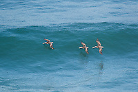 570000007 wild federally endangered brown pelicans pelecanus occidentalis soar over the breaking surf of the pacific ocean at torrey pines state preserve la jolla california