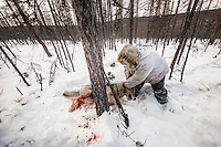 After shooting a wolf caught in a leg trap Ion Maxsimovic prepares to load the animal onto his snowmobile. There have been cases of wolves chewing off their own legs to free themselves from such traps.  An explosion of the wolf population has had a devastating impact on the reindeer herds that are the lifeblood for the indigenous Evenki people of the Siberian state of Sakha (Yakutia). In 2012 it was estimated that between 12,000 - 16,000 reindeer were lost to wolf attacks, at a cost of around 15,000 rubles (153.00 GBP) per animal. In response the local authorities introduced a three month hunt with a bounty to encourage hunters to target wolves with the aim of reducing their numbers from 3,500 to 500. Hunters earn 400 USD (280 GBP) per proven kill, plus a further 400 USD (280 GBP) selling the skin to the fur trade. Ion Maksimovic, the region's most celebrated wolf hunter, killed 23 wolves in 2014, more than any other hunter, and in doing so won a prize of 300,000 roubles (3,060 GBP) and a snowmobile.