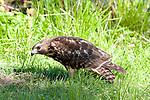 Red-shouldered hawk juvenile, Belcher Park, Randolph, MA