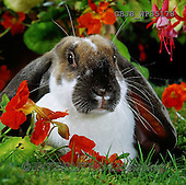 Kim, CUTE ANIMALS, LUSTIGE TIERE, ANIMALITOS DIVERTIDOS, photos,+Butterfly English Lop rabbit among Nasturtium flowers.,++++,GBJBWP35178,#AC# ,funny