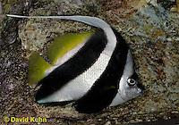 0119-08rr  Longfin Bannerfish - Heniochus Black and White Butterflyfish - Heniochus acuminatus© David Kuhn/Dwight Kuhn Photography