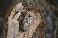 Waldkauz, ruht in einer Baumhöhle, Strix aluco, Wald-Kauz, Kauz, Käuzchen, tawny owl