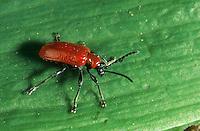 Lilienhähnchen, Lilien-Hähnchen, Lilioceris lilii, scarlet lily beetle, red lily beetle, lily leaf beetle, Le Criocère du lis