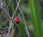 Crimson finch, Kimberley region, Western Australia