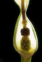 Gefleckter Aronstab, Blüte, Blüten, Querschnitt durch die Kesselfalle der Pflanze, Arum maculatum, Cuckoo Pint, Lords-and-Ladies