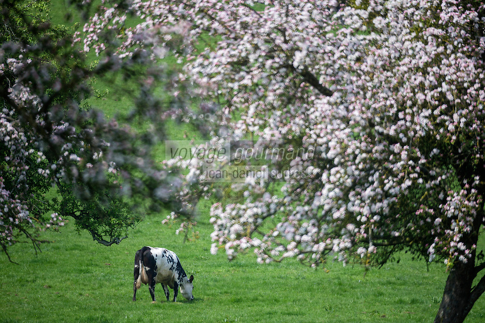 France, Calvados (14), Pays d' Auge, env de Blangy-le-Château, Vaches en pâturage et pommiers en fleurs // France, Calvados, Pays d' Auge, near Blangy le Château, Grazing cows and flowering apple trees