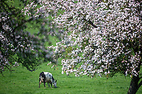 France, Calvados (14), Pays d' Auge, env de Blangy-le-Château, Vaches en pâturage et pommiers en fleurs // France, Calvados, Pays d' Auge, near Blangy le Château, Grazing cows and flowering apple trees