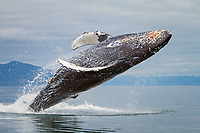 Humpback whale, Megaptera novaeangliae, breaching, Frederick Sound, Alaska, Pacific Ocean