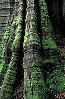 King Billy Pine in Walls of Jerusalem National Park, located on the island of Tasmania. Australia Tasmania.