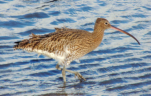 File image of a curlew at Victoria Park in Belfast