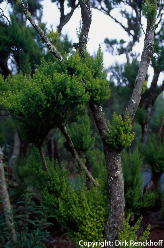Spanien, Kanarische Inseln, Gomera, Naturpark Garjonay, Baumheide