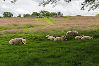 Cumbria, England, UK.  Sheep Grazing within the Confines of Birdoswald Fort, Hadrian's Wall Footpath.