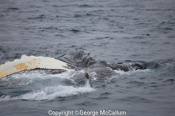 Humpback whales Megaptera novaeangliae Lunge feeding showing expanded throat pleats and wide open jaw. Kvitøya, Arctic ocean