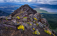 Golden Divide. Goldenweed clusters cling to weather-blasted volcanic rock at 10,000 ft. along the Continental Divide in the Centennial Range, which forms the border of Idaho and Montana. High winds along with a crisp temperature of 45 degrees made it feel more like autumn than mid-summer. July