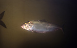 American shad in the Connecticut River