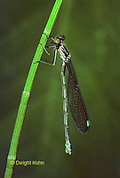 1O02-020a  Spreadwing Damselfly just emerged from nymph skin and wings fully inflated - Lestes spp.