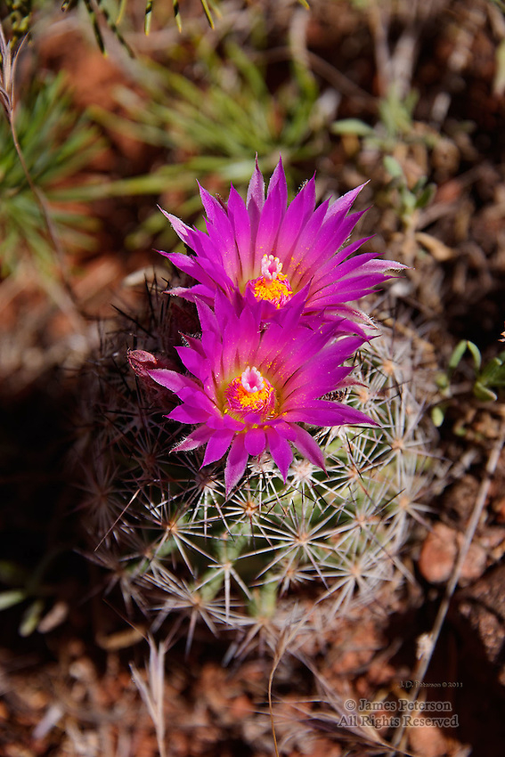 Pincushion Cactus along Templeton Trail, near Sedona, Arizona