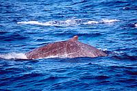 Baird's beaked whale, Berardius bairdii, West Coast of Baja California, Mexico, Pacific Ocean