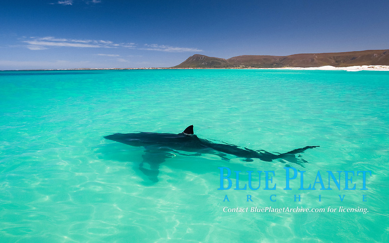 great white shark, Carcharodon carcharias,  Gansbaai, South Africa