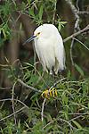 USA, FL, Everglades NP, Snowy Egret (Egretta thula)
