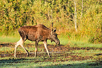 Eurasian elk, Alces alces, young male, Biebrza National Park, northeastern Poland