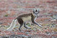 Arctic Fox on Wrangel Island