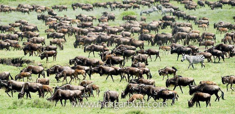 Massing herds of White-bearded Wildebeest (Connochaetes taurinus albojubatus) on migration. Ndutu area, Ngorongoro Conservation Area / Serengeti National Park, Tanzania. (digitally stitched image).