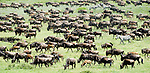 Massing herds of White-bearded Wildebeest (Connochaetes taurinus albojubatus) on migration. Ndutu area, Ngorongoro Conservation Area / Serengeti National Park, Tanzania. (digitally stitched image).