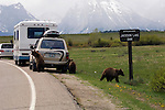 Grizzly cubs at a tourist's car in front of Mount Moran in Grand Teton National Park.
