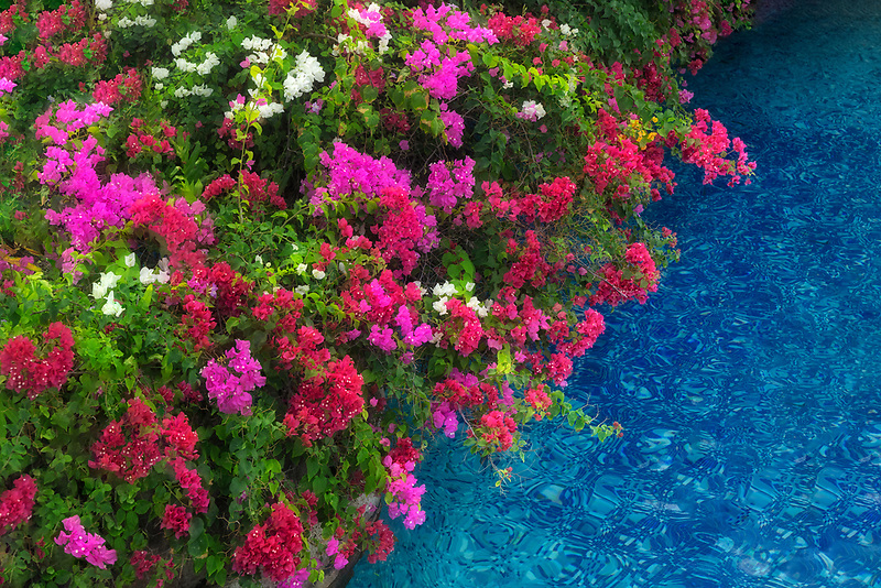 bougainvillea flowers next to pool in Maui, Hawaii