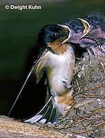 BA09-004z   Barn Swallow - parent feeding young - Hirundo rustica
