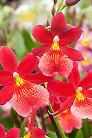 Burrageara Nelly Isler orchid hybrid.