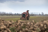 12.3.2021 Contractor Richard Ivatt lifting the last of the sugar beet in the 2020 - 2021 campaign <br /> ©Tim Scrivener Photographer 07850 303986<br />      ....Covering Agriculture In The UK....