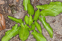 Gefleckter Aronstab, Blätter, Blatt vor der Blüte, Arum maculatum, Cuckoo Pint, Lords-and-Ladies
