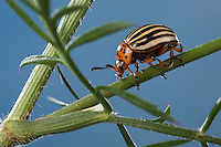Kartoffelkäfer, Kartoffel-Käfer, Leptinotarsa decemlineata, Colorado potato beetle, Colorado beetle, ten-striped spearman, ten-lined potato beetle, potato bug, Le Doryphore, Doryphore de la pomme de terre