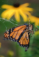 MONARCH BUTTERFLY life cycle..Trapped in garden spider's web..North America. Danaus plexippus..