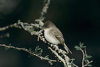 Eastern Phoebe, Sayornis phoebe, adult, Lake Corpus Christi, Texas, USA, April 2003