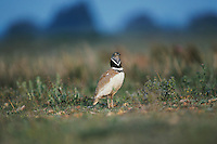 Little Bustard, Tetrax tetrax, male displaying, Crau, France, May 1993