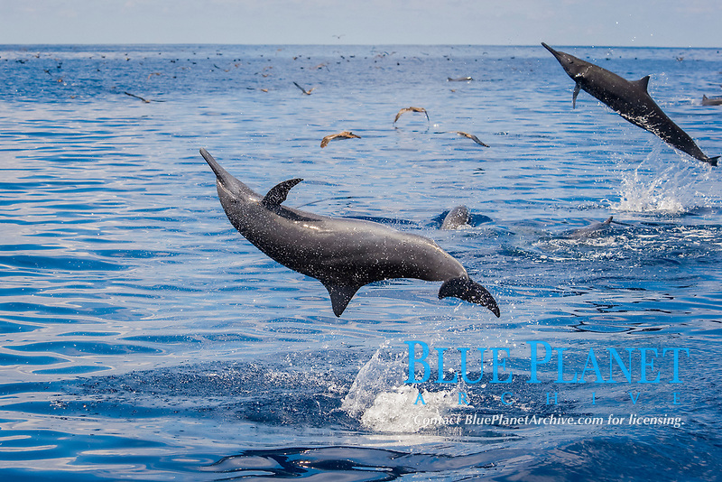 Central American Spinner Dolphins, Stenella longirostris centroamericana, spinning in unison, Costa Rica, Pacific Ocean